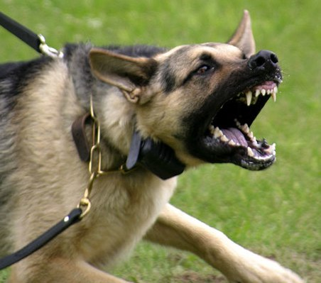 Picture Of Mean Dog On A Leash